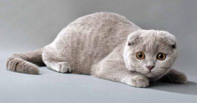 Бізнес розведення породистих котів в Україні