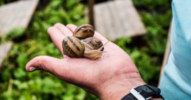 Вирощування равликів для бізнесу в Україні