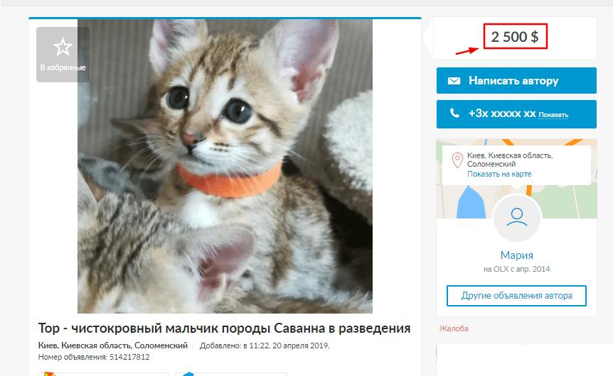 Розведення породистих кішок для заробітку