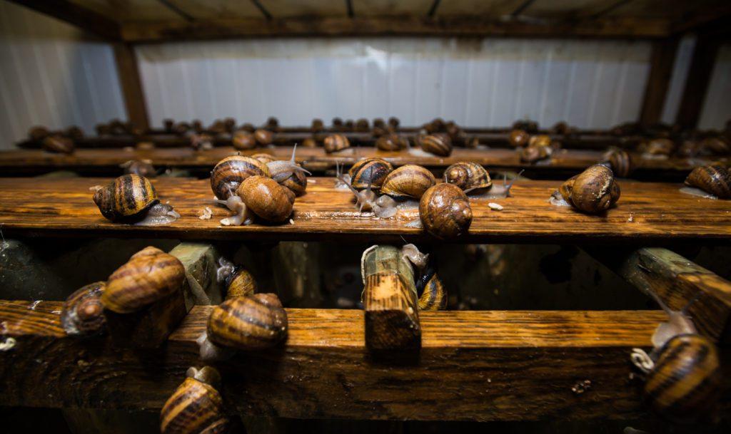 заробіток на вирощуванні равликів