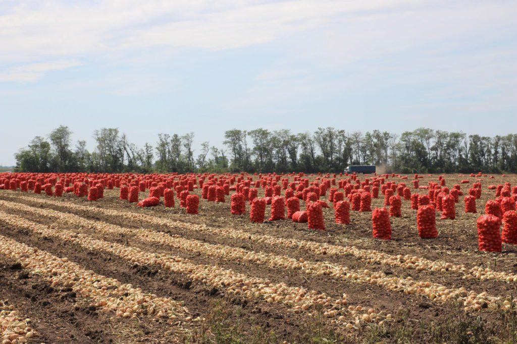 Цибуля в Україні, виготовлення сушеної цибулі як бізнес