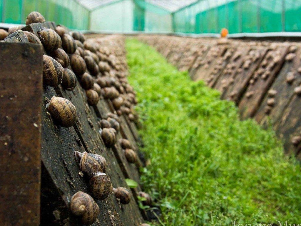 бізнес на вирощуванні равликів в Україні