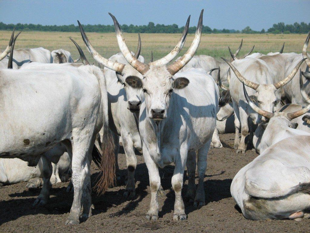 Бізнес на коровах мясної породи