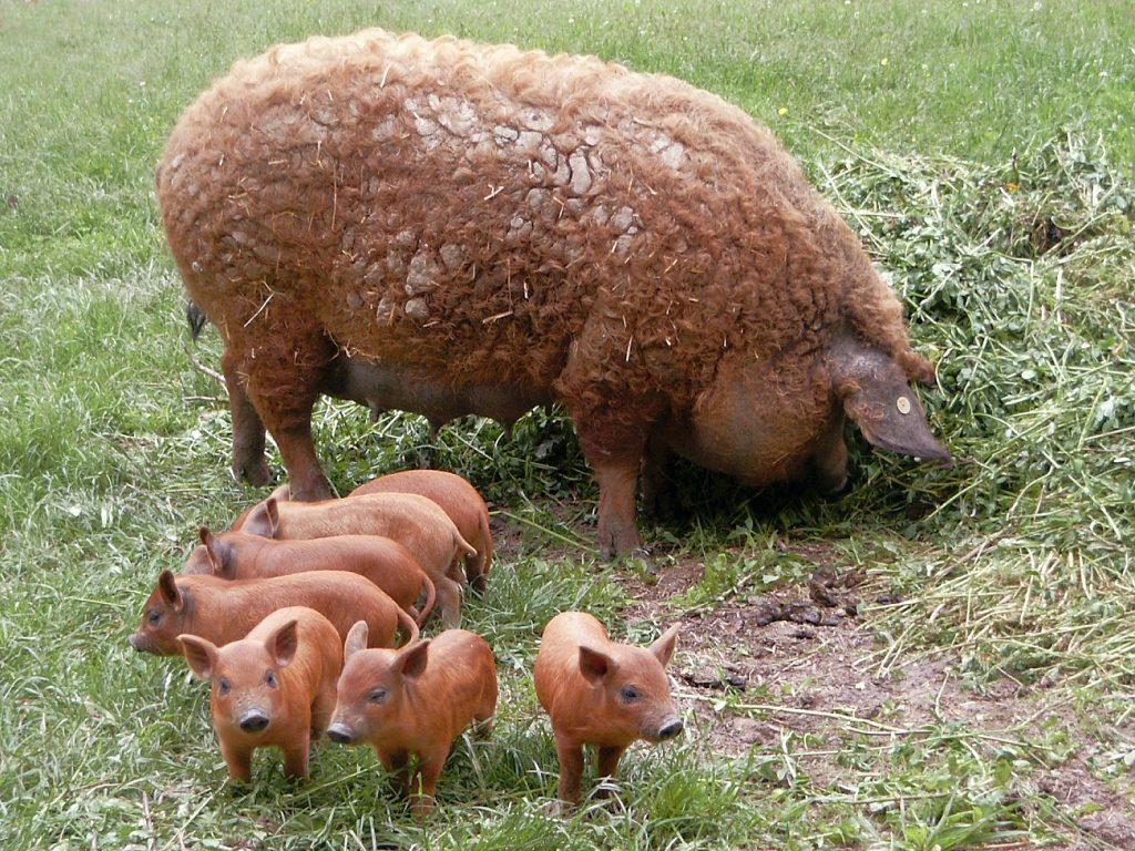 м'ясні породи кучерявих свине для власного бізнесу