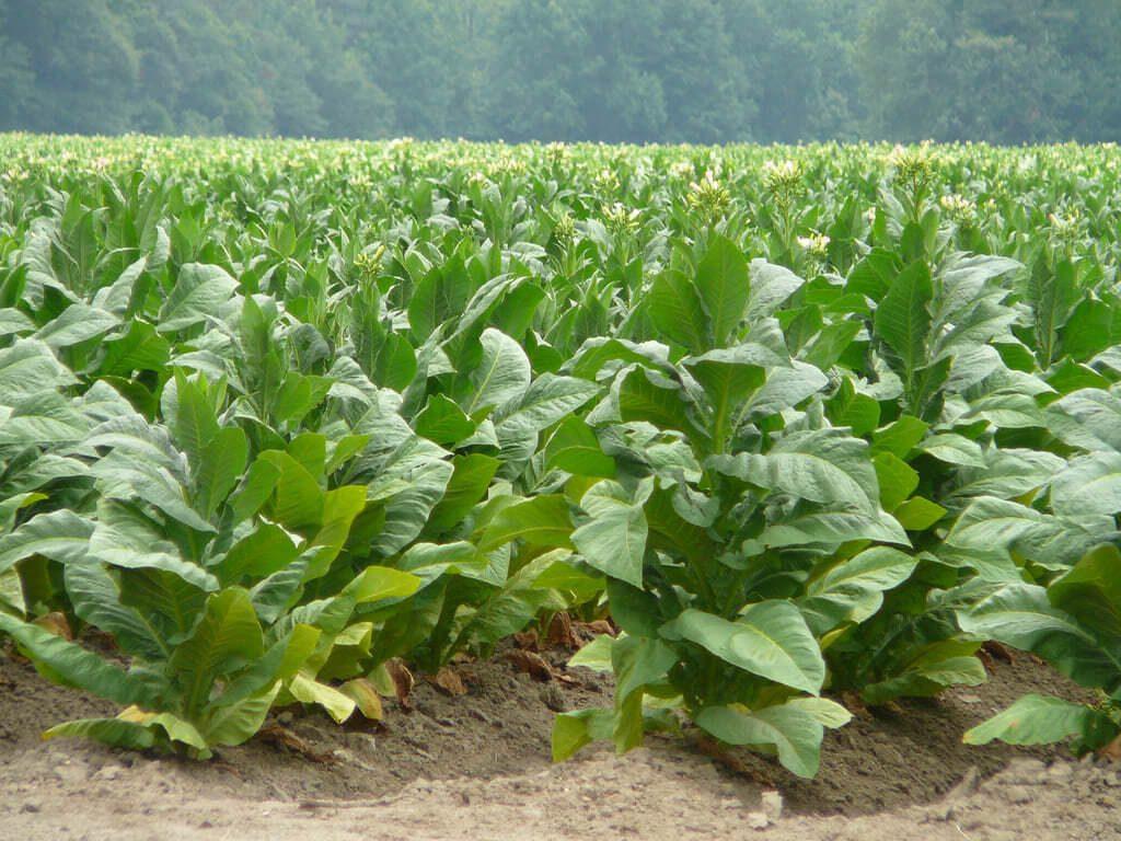 Як вирощують тютюн в Україні