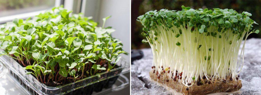 Бізнес на вирощуванні мікрозелені