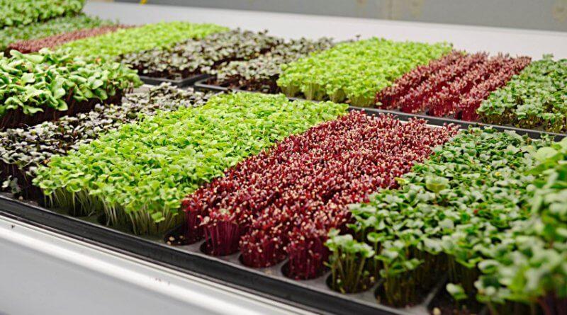 вирощування мікрозелені як бізнес