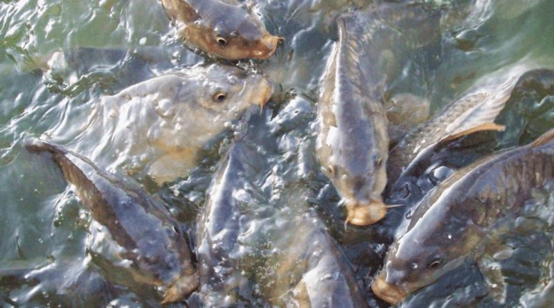 як заробити на вирощуванні риби