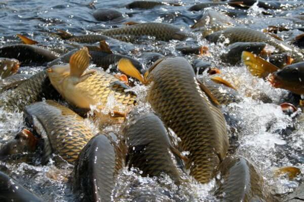 розведення риби бізнес