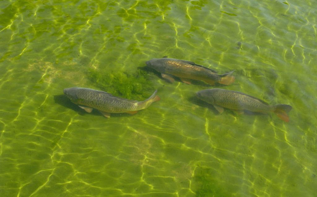 як вирощувати рибу бізнес