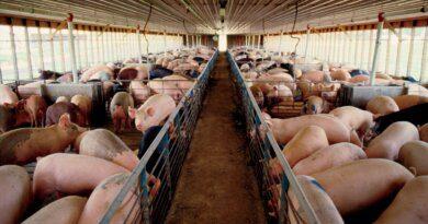 Вирощування свиней як бізнес