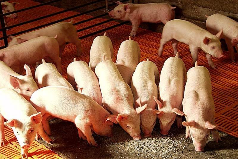 вирощування свиней як бізнес, вирощування свиней в Україні